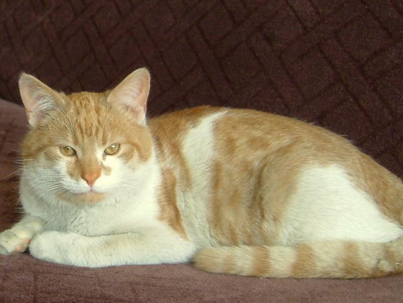 Biało Rudy Miś Miauczykotek Koty Do Adopcji